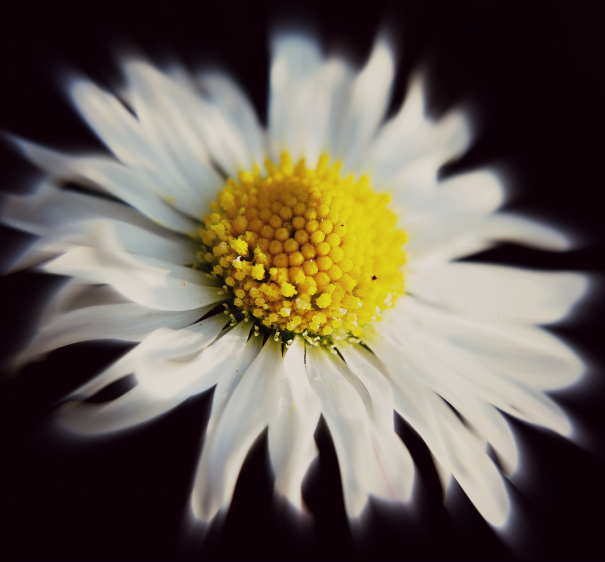 White Daisy Flower by Rosanna Zavanaiu