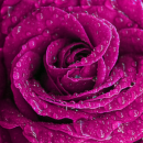 Purple Tone Rose After the Rain.