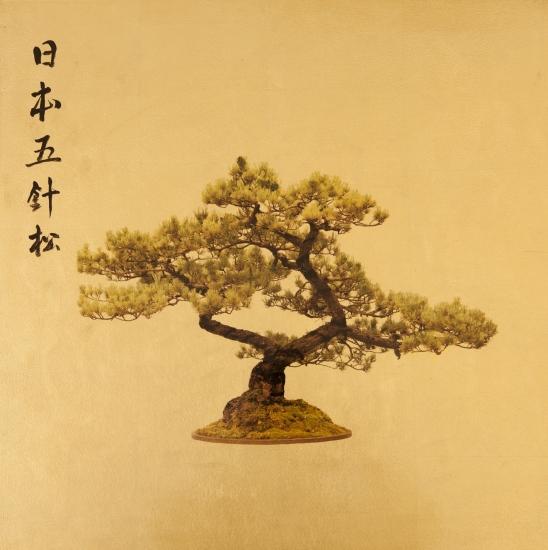 Rob Hind - Bonsai - Pinus Parvifolia
