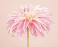Pale Pink Dahlia III (CF_030)