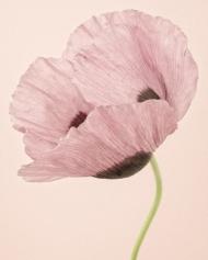 Opium Poppy I