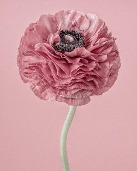 Pink Ranunculus II by Paul Coghlin