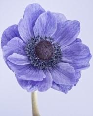 Poppy anemone I