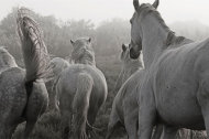 Camargue in the Mist 1