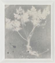 Trace: Conium Maculatum