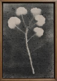 Trace: Pelargonium