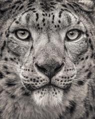 Portrait of a Snow Leopard, 30 x 38cm