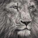 African Lion Looking Away, 51 x 64cm