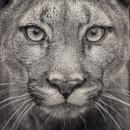 Portrait of a Puma, 51 x 64cm