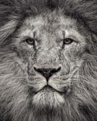 Portrait of an African Lion, 81 x 102cm