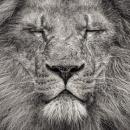 Peace - Portrait of an African Lion, 81 x 102cm