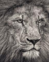 African Lion Looking Away, 102 x 127cm