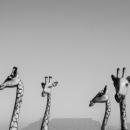 Four Giraffes, Cape Town