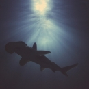Hammerhead above  - Limited Edition Fine Art photo print
