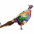 Urban Pheasant
