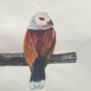 Purple tailed imperial pigeon