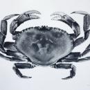 Silver Clawed Crab