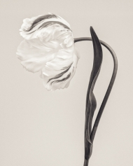 Tulipa 'Madonna' II