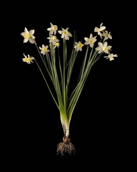 Narcissi 1 by kevin dutton buy affordable art online for Buy affordable art online