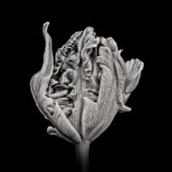 Black Parrot Tulip I (PTL006)
