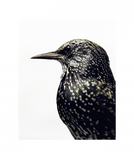 Starling by Alma Haser