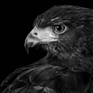 Profile of a Harris Hawk