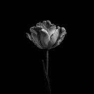 Fleur Noir VIII