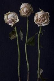 Vanessa's Roses