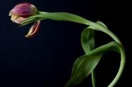 Solo Tulip 5
