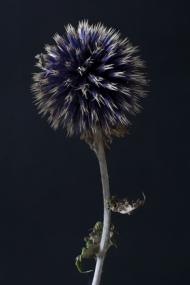 Echinops 1