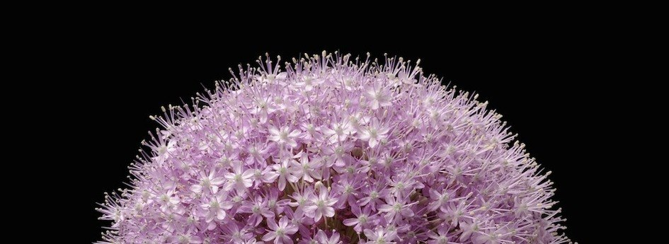 Kevin's Duttons 'Allium' Print Has Been Selected by Apple